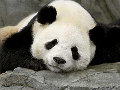 panda-mascara