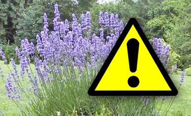 lavender - beware