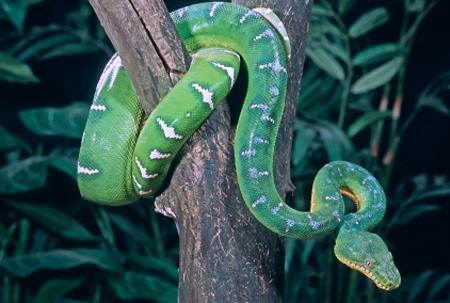 snake venom facial